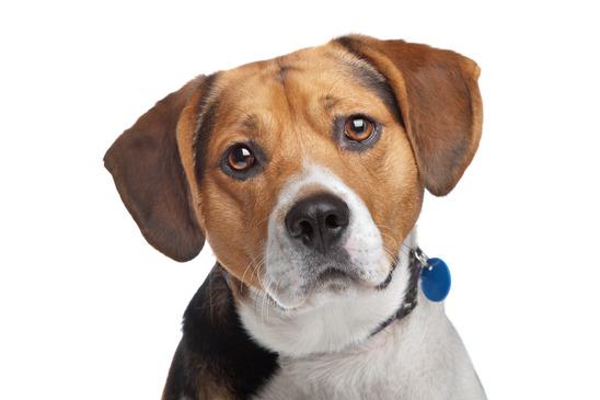 Concerned Beagle